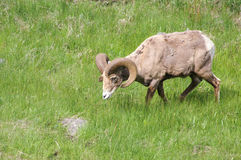 Lone Bighorn Sheep Royalty Free Stock Images