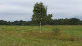 Lone birch Stock Images