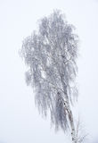 Lone birch winter bare trees without leaves under snow Stock Images