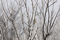 Lone Bird on Frosted Tree stock photo