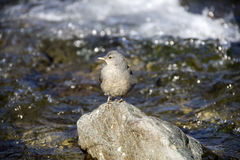 Lone bird on river rock Stock Image