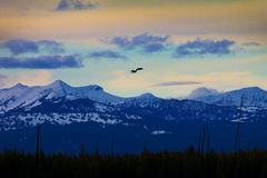 A Lone Bird Soars Above Yellowstone Royalty Free Stock Photography