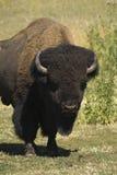 lone bison Royaltyfria Foton