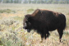 Lone Bison. A lone American buffalo grazes in a sage field in Western Wyoming Royalty Free Stock Image