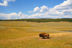 Lone Bison. In Yellowstone National Park in August Stock Image
