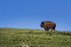 lone bison royaltyfri fotografi