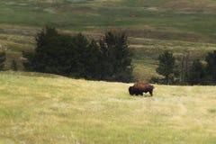 lone bison royaltyfri foto