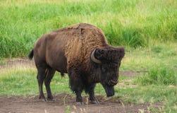 lone bison royaltyfri bild