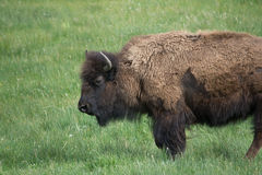 Lone Bison Royalty Free Stock Images
