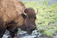 Lone Bison. An adult bison standing in water at Yellowstone National Park. I was able to get many pictures of bison while I was there Royalty Free Stock Photography