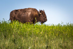 Lone Bison. Buffalo or Bison roaming in the grasslands of South Dakota Stock Photography