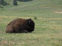 Lone Bison Royalty Free Stock Photos