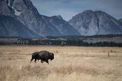 Lone bison with Grand Tetons stock photo