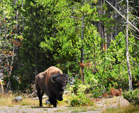 Lone Bison Stock Photography