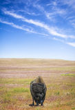 Lone Bison and Sky. A lonely bison traveling on the grasslands Royalty Free Stock Images