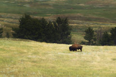 Lone Bison. A solitary bison, or American Buffalo, in South Dakota Royalty Free Stock Photo
