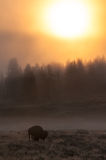 Lone Bison. Stands in a field for a foggy morning sunrise Stock Photos