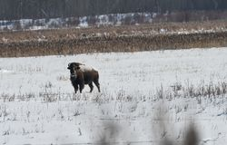 A Lone Bison stares at the photographer royalty free stock image