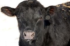A Lone Black angus bull stock photos