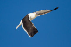 Lone Black back gull flying in bright blue sky Stock Image