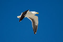 Lone Black back gull flying in bright blue sky Royalty Free Stock Photography