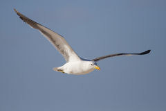 Lone Black back gull flying in bright blue sky Royalty Free Stock Photos