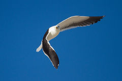 Lone Black back gull flying in bright blue sky Stock Photos