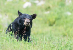 A lone Black Bear in some grass Stock Photography