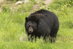 Lone black bear in a valley Stock Photography