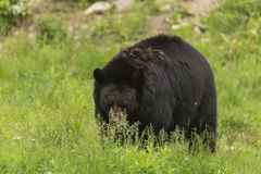 Lone black bear in a valley Stock Images