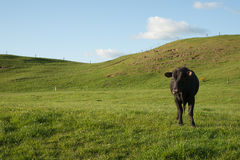 Lone black cow in paddock. Royalty Free Stock Image
