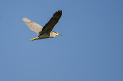 Lone Black-Crowned Night Heron Flying in a Blue Sky Royalty Free Stock Photos