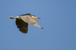 Lone Black-Crowned Night Heron Flying in a Blue Sky Stock Image