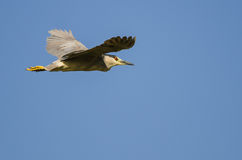 Lone Black-Crowned Night Heron Flying in a Blue Sky Royalty Free Stock Photography