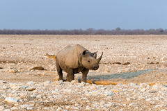 Lone black hook-lipped rhino. Standing at artificial Gemsbokvlakte waterhole before sunset. Etosha national park, Namibia stock image