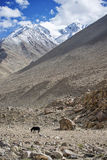Lone black horse and Snow Mountain Range Stock Images
