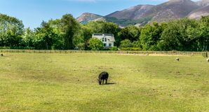 A lone black sheep grazing in a field. stock images