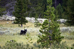 Lone Black Wolf. A lone, black wolf in Yellowstone National Park Stock Image