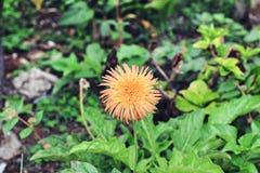 Lone blomma fotografering för bildbyråer
