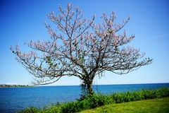A lone blooming tree on ocean shore Royalty Free Stock Image