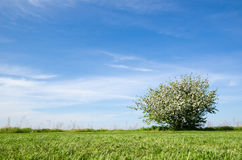 Lone blossom apple tree at blue sky Royalty Free Stock Photos