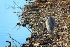 Lone Blue Heron Stock Images