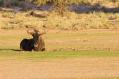 Lone blue wildebeest resting on a pan in the kalahari Royalty Free Stock Photo