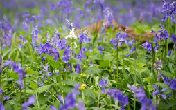 Lone Bluebell Stock Photography