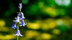 The Lone Bluebells in the woods stock photography