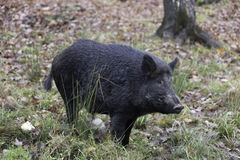 Lone boar in the woods Stock Photos