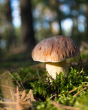 Lone boletus Royalty Free Stock Photography