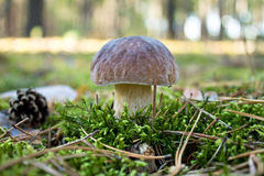 Lone boletus Royalty Free Stock Photo