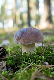 Lone boletus Stock Photos