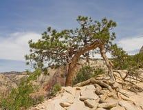 Lone Bristlecone pine Royalty Free Stock Image